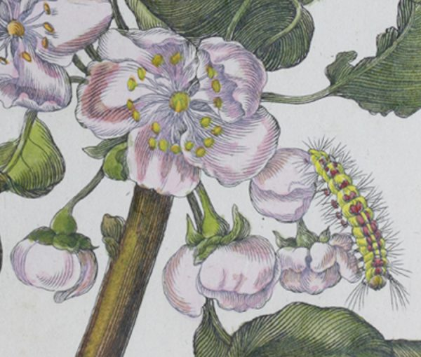 a print of pear blossom